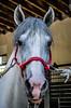Doma II ( Raquel ) Tags: colors horses horse white red córdoba españa spain andalucía purasangre andaluz ropes animales animals beauty
