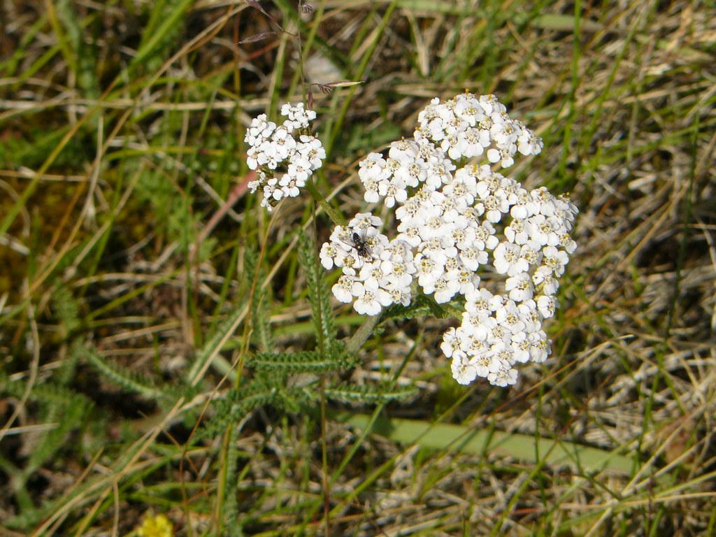 Achillea millefolium- Schafgarbe1