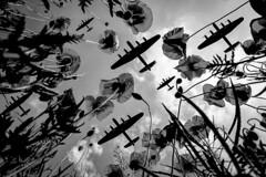 POP0013 (Smart Aviation Art) Tags: poppy poppies poppyfield poppyfields lancaster vulcan avro spitfire hurricane aircraft military bbmf