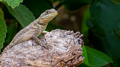 Calango-10 (lucaspevidor) Tags: vida natureza lagarto animais animals life nature lizards wild