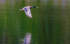 Cruising (Steve-h) Tags: bushypark birds nature natural natura naturaleza action movement flight cruising duck mallard drake reflections colour colours green blue yellow orange bronze grey april 2016 spring park pond dublin ireland europe steveh