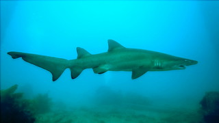 Grey Nurse Shark - 6th January 2016.
