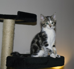 Lemmy posing (Martijn A) Tags: lemmy cat kat pussy katze chien gatto motörhead motörcat pet huisdier home thuis animal dier 35mm canon d550 dslr kitten wwwgevoeligeplatennl