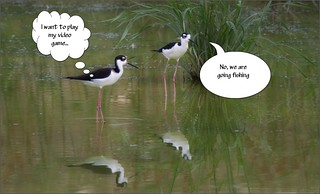 6885-  Black-necked Stilts at the Crossroads