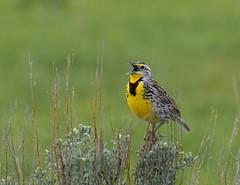 Singing in the sage. (Redfishvic) Tags: westernmeadowlark grandtetonnationalpark bird wildlife nature nikon7100 meadowlark