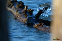 A-LUR_5591 (ornessina) Tags: trasimeno umbria byrd uccelli aironi cormorani toscana va orcia