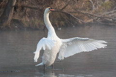 Cygne tuberculé (Cygnus olor) (aurelien.ebel) Tags: alsace anatidé animal ansériforme cygne cygnus france larobertsau nature oiseau olor strasbourg
