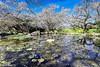 Plum blossom ~南投烏松崙梅花倒影 (Estrella Chuang 心星) Tags: 梅花 water flower tree 南投 烏松崙