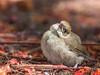 Canary Islands Chiffchaff (Phylloscopus canariensis canariensis) fledgling-5298 (Stein Arne Jensen) Tags: arguineguín bird canarischetjiftjaf canaryislands canaryislandschiffchaff canon70d canonef100400f4556lisusm complejodeportivodavidjimenezsilva espagne espanya españa europa europe felosadascanáris fugl grancanaria islascanarias kanarenzilpzalpcanariensis kanarigransanger kanarischeinseln kanariøyene mogán mosquiterocanario pajaro parquepolideportivo phylloscopuscanariensiscanariensis pouillotdescanaries provinciadelaspalmas sangerfamilien spain spania spanien sperlingsvögel spurvefugler steinarnejensen sylviidae tsn562129 vogel avescanoras kanariantiltaltti lintu oiseau passereaux passeriformes passerines perchingbirds pájaros singvögel songbirds европа канарскаяпеночка птица أوروبا العصفوريات यूरोप カナリアチャフチャフ スズメ目 ヨーロッパ 加岛柳莺 歐洲 雀形目 鳥 鸟 유럽