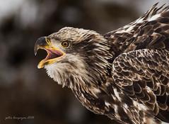 Juvenile Bald Eagle (Peter Bangayan) Tags: raptors birds birdsofprey baldeagles wildlife nature washington