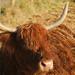 Scottish Cattle @ Eynsford (explored) (Adam Swaine) Tags: eynsford eynsfordvillage cattle scottish animals kent farming naturelovers nature england rural ruralkent canon britain 2017 countryside counties explored