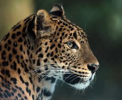 shrilankan panther Burgerszoo JN6A5281 (j.a.kok) Tags: panter panther luipaard leopard shrilakanpanther shrilankapanter burgerszoo pantheraparduskotya mammal zoogdoer kat cat predator azie asia shrilanka