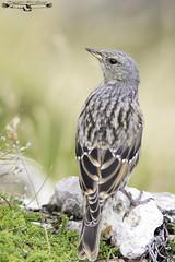 Alpine accentor - Prunella collaris - Acentor alpino. (Fotografias Unai Larraya) Tags: lospirineos montaña acentoralpino aves animales ori