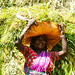 work on the tea plantation