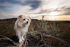 10-52-2017 Lily (Jackie Petersen) Tags: lily dog 52weeksfordogs utah antelopeisland