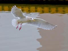 Where is Mine? (Omygodtom) Tags: wild wildlife nikkor bird postcard seagull white nikon70300mmvrlens natural nature nikon d7100 bokeh dof contrast composition abstract art animalplanet animal