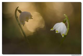 Nivéole de printemps - Leucojum vernum #2