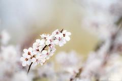 en fleur (Bruno. Thomé) Tags: pentaxk1 smcda300mmf4 fleur france indreetloire chinon