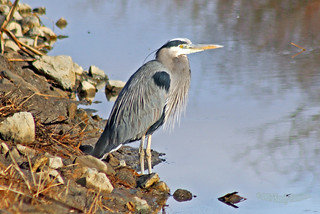 Great Blue Heron 17-0225-0087