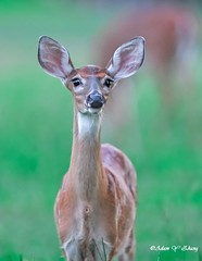 A Curious Deer ( 好奇的小鹿 ) (Thank you, my friends, Adam!) Tags: adamzhang orlando lakemary nikkor standard lenses telephoto super closeup zoom ngc 漂亮 nikon dslr 长焦 长焦镜头 尼康 镜头 中佛州 野生动物 保护区 单反 lens central florida wildlife macro flower beauty curve world100f color colorful colors 色彩 多姿 beautiful gorgeous gallery fine art photography photographer excellent deer 小鹿