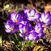 The Visitor (Alex M. Wolf) Tags: spring springtime flower frühling blossom blüten bloom blooming blühen blumen blume blüte blossoms violett purple krokus crocus alexmwolf canon eos5dmkiii