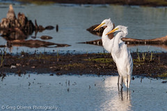 Two-headed Egret discovered! (greg obierek) Tags: heron canon delaware egret smyrna greategret ardeaalba bombayhooknwr usnwr ef500mmf4isl eos7dmkii twoheadedegret