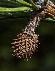 Young Pitch Pine Cone (Odonata457) Tags: mountains pine unitedstates cone young maryland scales pitch spines catoctin frederick pinusrigida