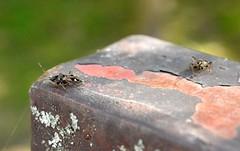 2015_Kardoskt_0444 (emzepe) Tags: bug insect hungary nap ungarn 2015 hongrie napja rovar sz szeptember bogr kardoskt fehrt nylt olvaskr pusztakzpont kardoskti