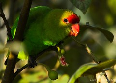 Black-winged Lovebird (ebuechley) Tags: bird scenery wildlife parrot ethiopia lovebird