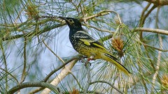 Regent's Honeyeater (Rodger1943) Tags: australianbirds honeyeaters regenthoneyeater fz1000