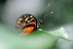 Heliconius sp JVA_0135 (mrjean.eu) Tags: sara sp atlas demi insectes attacus papillons heliconiinae deuil heliconius phaetusa dryatula