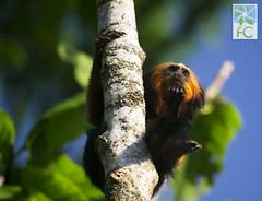 Mico leão de cara dourada (Fabio Cunha Meio Ambiente e Fotografia) Tags: leontopithecuschrysomelas micoleãodecaradourada