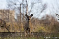 Deer (Braden Bygrave) Tags: ontario canada cute nature animal nikon deer 80200mm naturepicture nikonphotography d7100 nikonphoto nikond7100