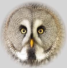 Beauty! (Albatross Imagery) Tags: bird beautiful face birds greatgreyowl owl stunning birdsofprey birdofprey