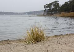 Beachgrass (Steffe) Tags: grass baltic beachgrass ammophila rstahavsbad