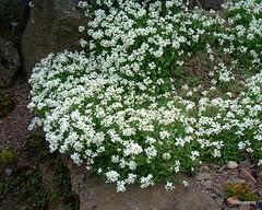Arabis alpina ssp. caucasica 'Snowcap'