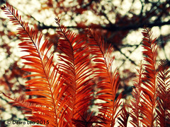 They remind me of feathers, but in fact they are the needles on a Dawn Redwood in the backyard, that I was standing under a few days ago. I love their fiery color, and up close, their fiery and lively spirit. 11/18/15 (Des Lea) Tags: red sky orange macro tree nature pennsylvania branches lewisburg dawnredwood