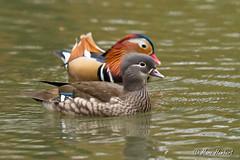 101102_154727.jpg (marc1bert) Tags: oiseaux faune canardmandarin oiseauxdeau