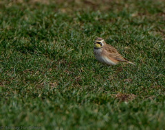 Horned Lark (AnthonyVanSchoor) Tags: lark horned westernregionalpark howardcountymd nikond7100 howardcountybirdclub tamron150600mmtelephotolens