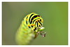 Vlindertuin Harskamp (NL) (Smarron) Tags: nikon d5100 tamron 90mm macro vlinder vlinders butterfly butterflies tuin garden bloemen flowers caterpillars rupsen cocon harskamp vlindertuin