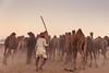 Camel flock (Karunyaraj) Tags: pushkar pusharfair camel camelfair2016 camelfair camelherder dusk dust rajasthan india turban cwc chennaiweekendclickers cwc561 nikond610 d610 nikon24120 fullframe