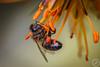 Little Bee (Stephan Strange Photography) Tags: macro macrophotography macros invertebres insect insects makro makrofotografie animal animals animalphotography botanic garden tenerife teneriffa puerto de la cruz bee bees biene bienen insekt insekten