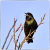 Iridescent European Starling (EXPLORE, Dec 28 2016, #115) (RKop) Tags: d500 200500mmf56edvrzoom raphaelkopanphotography armlederpark cincinnati ohio starling handheld