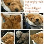 Stella's F1b mini puppies !