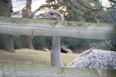 EdinburghZoo-17010805 (Our Dream Photography (Personal)) Tags: africanhuntingdogs asiaticlions baboon capuchinmonkey childrenplaying climbingframe edinburghzoo giantpanda gibbon leelive lemur meerkat otter ourdreamphotography penguin sumatrantiger sunbear wwwourdreamphotographycom