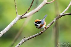 紅頭山雀-1 (Ah-TaiTai) Tags: 台灣 台中 大雪山 200林道 動物 鳥類 鳥 bird 飛羽 d5500