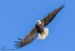 Immature Bald Eagle in flight. (Estrada77) Tags: nikon 200500mm december 2016 bald eagle raptors distinguishedraptors wildlife fishing flight fox river