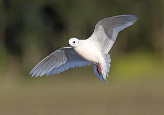 Rare Ross's Gull