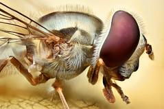 """mosca de la flor"" (Diptera: Syrphidae) (Anddune) Tags: moscadelaflor díptero dípteros dyptera syrphidae flowerfly sphaerophoria macro macroextremo focusstack nikonmplan"