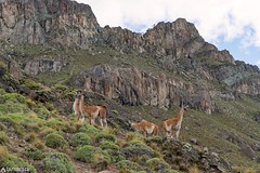 Guanaco - Parque Patagonia (Captures.ch) Tags: 2016 animal black brown bush capture chile cliff gras gray green guanaco hill mountains nature november orange parquepatagonia red southamerica travel vallechacabuco white yellow young